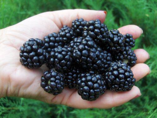 "Blackberry /""agavam/"" épines Graines Baies Graines de l/'Ukraine"
