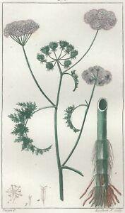 Decoration-Botanique-Fleur-Phellandre-gravure-Pierre-Jean-Francois-Turpin