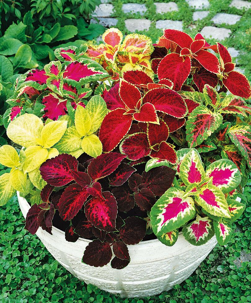 100Pcs Mixed Colors Clematis Bonsai Flower Seeds Home Garden Balcony Decor Fash