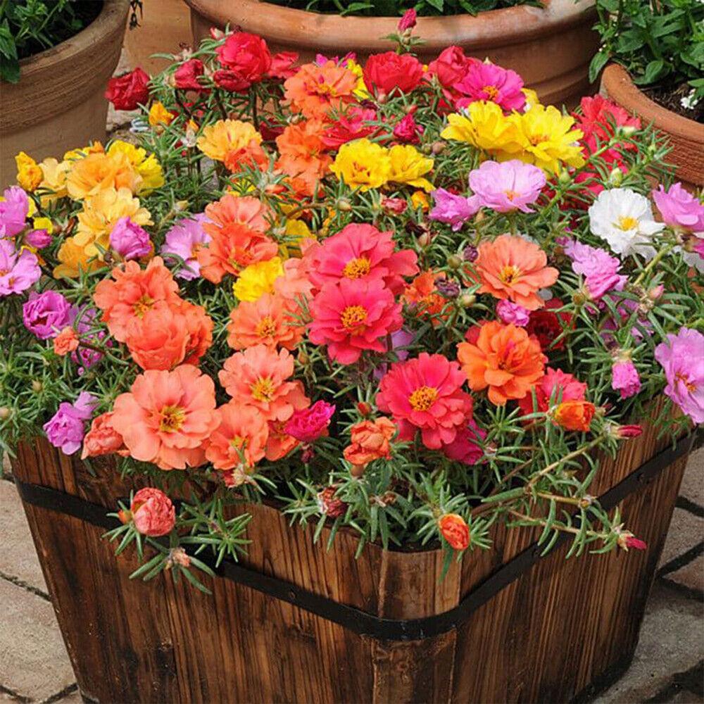 100 Mixed UK Moss Rose Seeds Portulaca Grandiflora Grow Coloured Garden Flowers