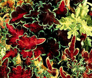 COLEUS-CAREFREE-MIX-Solenostemon-Scutellarioides-50-Bulk-Seeds