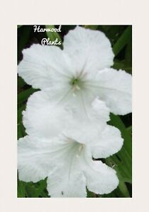White-Mexican-Petunias-4-live-plant-12-Tall-Large-Mature-Plants-Organic