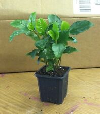 Coffee Bean Plant Seeds - TROPICAL ROBUSTA - New Limited Variety - 25 Seeds