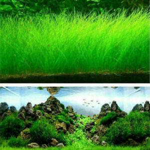 Fish-Tank-Aquarium-Aquatic-Water-Grass-Plant-Seeds-Decor-Garden-Foreground-Plant