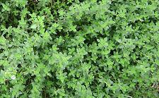 250 Graines BIO de THYM D'HIVER Thymus vulgaris plante aromatique & médicinale