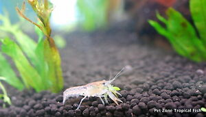 Mexican Dwarf Crayfish - Freshwater Lobster - CPO Mexican Blue Dwarf Lobster