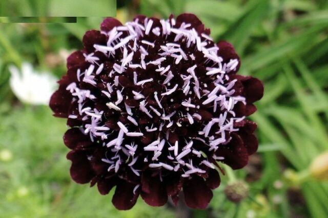Seeds Mourning Bridge (Pincushion Flower) Annual Garden Cut Organic Ukraine