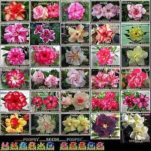 Adenium-Obesum-Rosa-Del-Desierto-30-Semillas-Bonsai-Planta-Pick-Casa-KH2