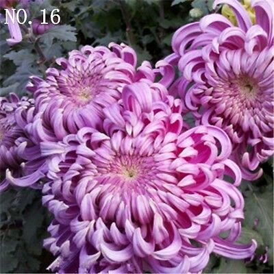 Chrysanthemum seed  countryard balcony decoration 30 seeds NO.16