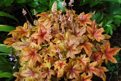 1 x Heucherella Hybride /'Brass Lantern/' Purpurglöckchen