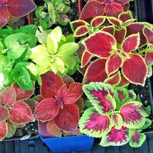 501 Coleus Rainbow Mix Flower Seeds Shade Garden Patio Container