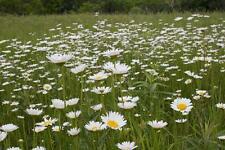 Fairy Garden x100 Ox-Eye Daisy  seeds Fairy Garden, Wild Flower Seed