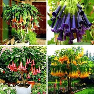 100pcs-Bonsai-flower-Seeds-Rare-Flower-Seeds-Potted-Plants-Angel-039-s-Trumpets-Bons