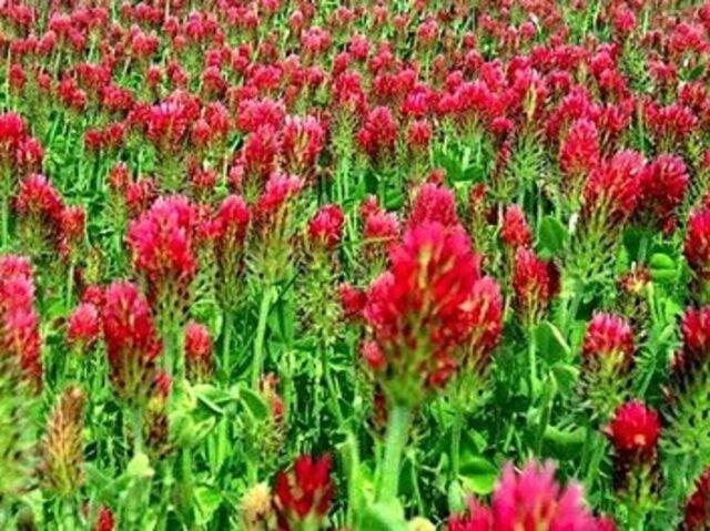 1/2 LB Crimson Red Clover Clover Seeds (Food Plot) Cover Crop