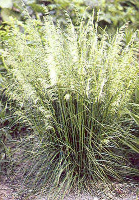 Ornamental grass seed deschampsia caespitosa seeds ebay ornamental grass seed deschampsia caespitosa seeds workwithnaturefo