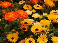 CALENDULA PACIFIC BEAUTY MIX 50 FRESH SEEDS FREE SHIPPING