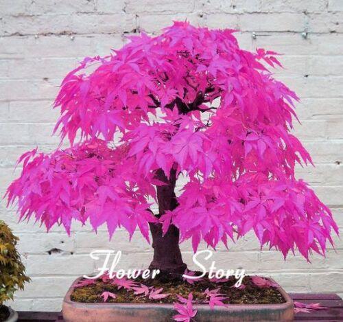 Pink Japanese Maple Bonsai Acer Seeds Rare Unusual Stunning Garden Plant