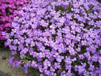 Pack x6 Aubretia 'Royal Blue Cascade' Perennial Plug Plants