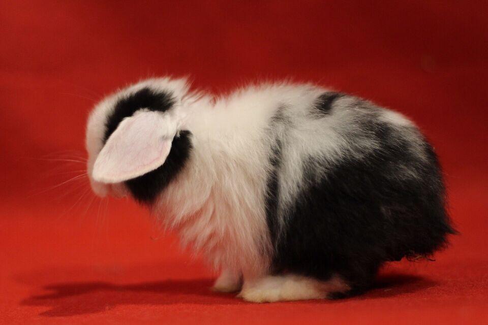 Kanin, Satin dværgvædder