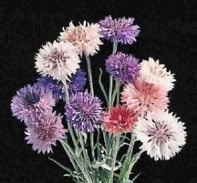 2000 POLKA DOT MIXED BACHELORS BUTTON CORNFLOWER Seeds