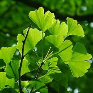 Image result for Gingko