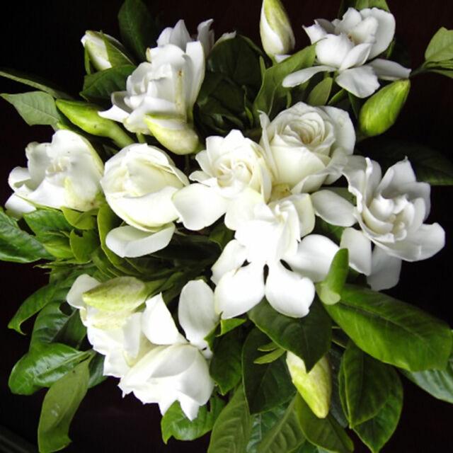 100pcs GARDENIA JASMINE Jasminiodes White Shrub Aromatic Flower Seeds Bonsai