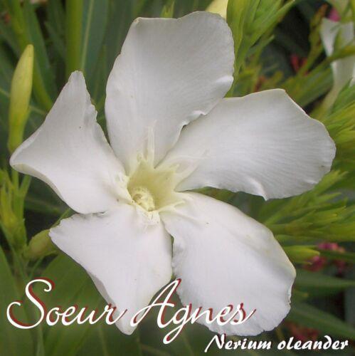 """min 3 Stück Nerium oleander Oleander /""""Soeur Agnes/"""" Stecklinge"""