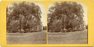 EARLY RHODE ISLAND LARGEST ELM TREE - HOMESTEAD - ROCK WALL & FENCE STEREOVIEW