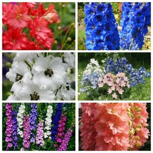 Seeds-Delphinium-Low-Tall-Mix-Red-Giant-Rare-Flower-Annual-Outdoor-Cut-Organic