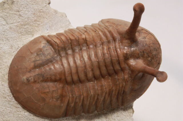 Russian trilobite Asaphus kowalewskii (LAWROW 1856) fossil Russia