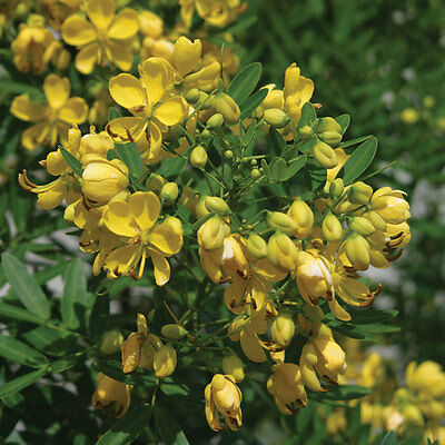 Flowering Senna Buttercup Bush Yellow Flowering Bush 30 Seeds