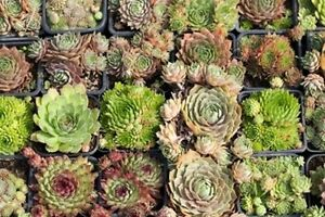 sempervivum samen mix hauswurz mischung winterhart 200 samen steingarten ebay. Black Bedroom Furniture Sets. Home Design Ideas