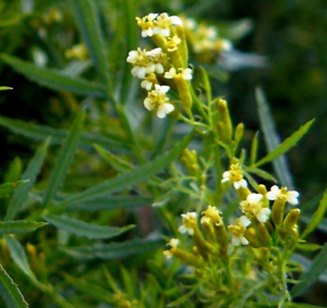 Tagetes-minuta-Huacatay-Riesengewurztagetes-55-semillas-frescas