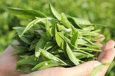 Best Original 20 Green Tea Seeds Camellia Sinensis Seed For Plant New.