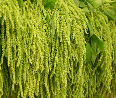 Flowers /'Love lies bleeding Amaranthus caudatus 1500 seeds Buy 3 get 1 free!!