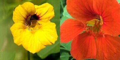 300 Graines Capucine Naine Jewel Mélange Grande Fleur Rouge Acajou Orange Jaune
