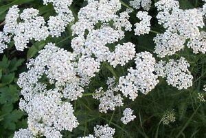 1-4-oz-Yarrow-Seeds-Heirloom-Herb-Seeds-Bulk-Herb-Seeds-approx-43-750-seeds