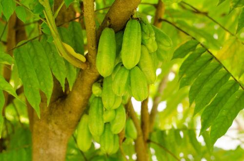 Saatgut exotische Pflanzen Samen Garten Sämereien Balkon GURKENBAUM