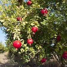 Russian Pomegranate Salavatski Punica Granatum Cold Hardy Zone 7 Live Plant Ebay