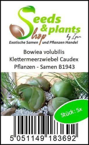 5x Bowiea volubilis Klettermeerzwiebel Caudex Pflanzen Samen B1943