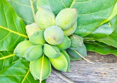 100% Wahr 10 Samen Von Seemandelbaum Terminalia Catappa, Katappenbaum Indischer Mandelbaum Sparen Sie 50-70%