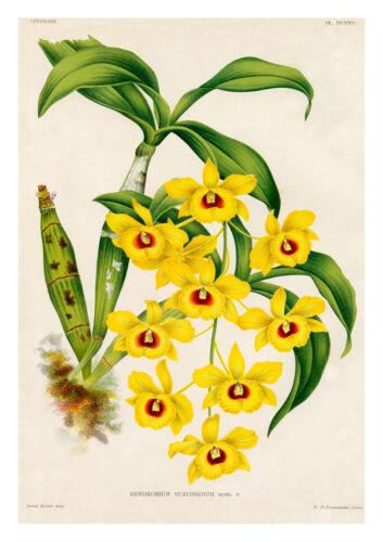 Dendrobium Suavissimum by Jean Linden Orchids A4 Art Print
