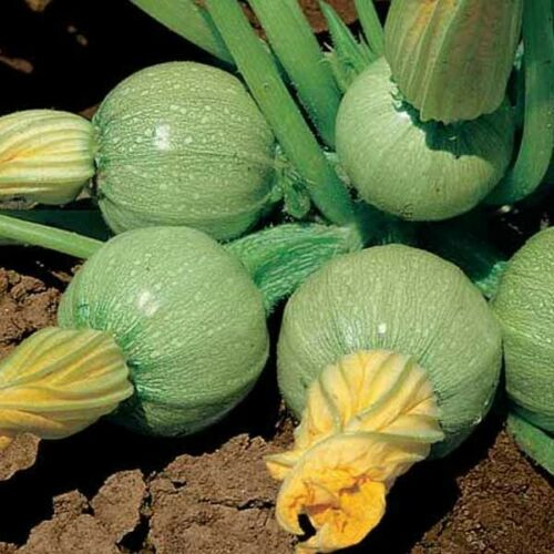10 Semi Di Zucchino Tondo Chiaro Di Nizza