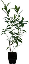 Heidelbeere - Pink Lemonade - Pflanze Blaubeere Besonderheit mit pinken Beeren