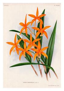 Laelia Harpophylla by Jean Linden Orchids A4 Art Print Flower Art Wall Art