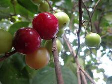 RARE 3 graines de Prune Café(Flacourtia jangomas) H304 COFFEE PLUM SEEDS SEMILLA