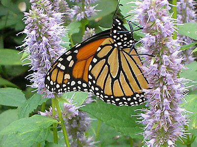 500 ANISE HYSSOP Licorice Mint Agastache Herb Flr Seeds