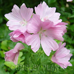 MALVA-MOSCHATA-MUSK-MALLOW-WILD-FLOWER-500-SEEDS-wildflower-seed