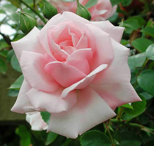 NEW DAWN  - FRAGRANT CLIMBING  ROSE -  LONG FLOWERING BARE ROOTED PLANT