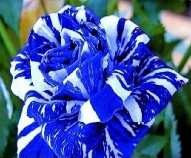 Fresh,40pcs RARE Blue Dragon Rose Flower Seeds Garden Plant*UK STOCK*